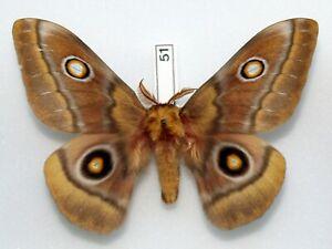 SATURNIIDAE-silkmoth-Augenspinner-NUDAURELIA-CYTHERAEA-CAPENSIS-male