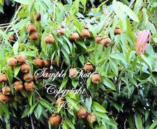 5 seeds Indian Rose Chestnut Indian Ironwood Mesua ferrea Super Rare Tropical!