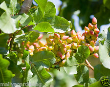 Live PISTA FRUIT (Pistachio) Plant - 1.5 FEET HEIGHT- 1 Healthy plant In 1 Pot