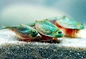 TRIOPS longicaudatus : (200+) high quality&pure eggs + FREE eggs of S.siamensis