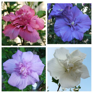 Rose-of-Sharon-Hibiscus-Syriacus-Mixed-colors-Melanges-de-couleurs-15-seeds