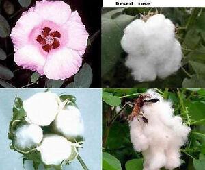 Wuestenrose-Baumwolle-Gossypium-Eine-attraktive-schnellwuechsige-Blume-Samen