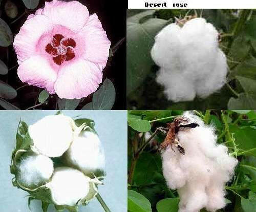 Attraktive Zimmerpflanze für den Blumentopf Wüstenrose Samen Baumwolle