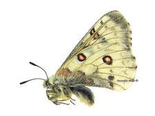 Unmounted Butterfly/Papilionidae - Parnassius actius ambrosius, male