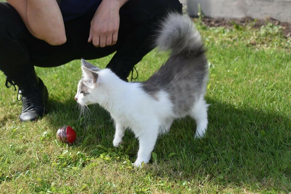Hunkilling, Maine coon, 4 mdr.