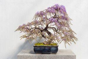 i-die-WILDE-WISTERIA-i-Zimmerpflanze-Wintergarten-Terrasse-als-Miniaturbaum