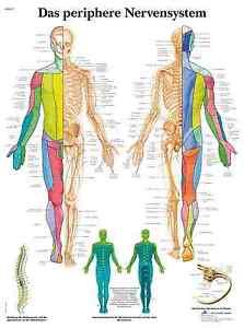 das-periphere-Nervensystem-Lehrtafel-Anatomie-50-x-67cm-Poster
