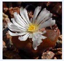 Argyroderma pearsonii 10 graines