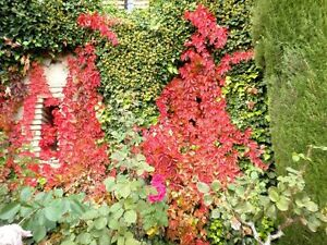 Boston-Ivy-Vine-Virginia-creeper-Seeds-Green-then-Red-Pack-of-5-seeds