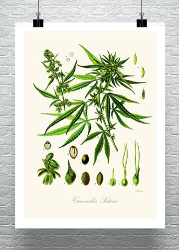 Cannabis Sativa Plant Growth Cycle Antique Illustration Canvas Giclee 24x32 in.