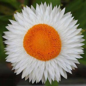 100-Samen-Strohblume-Prachtmischung-Trockenblume-Weiss-Helichrysum-Bracteatum