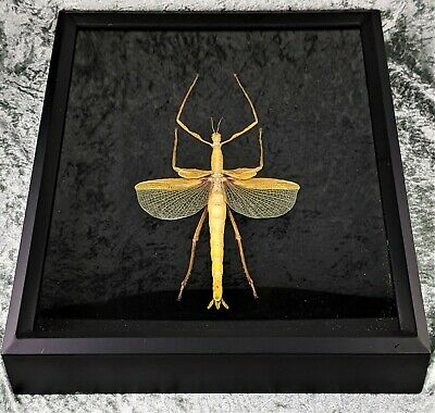 P1b Taxidermy Entomology Jungle Nymph Giant Mantis Shadowbox display oddities