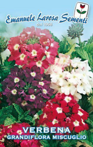 100 Semi VERBENA Grandiflora Miscuglio