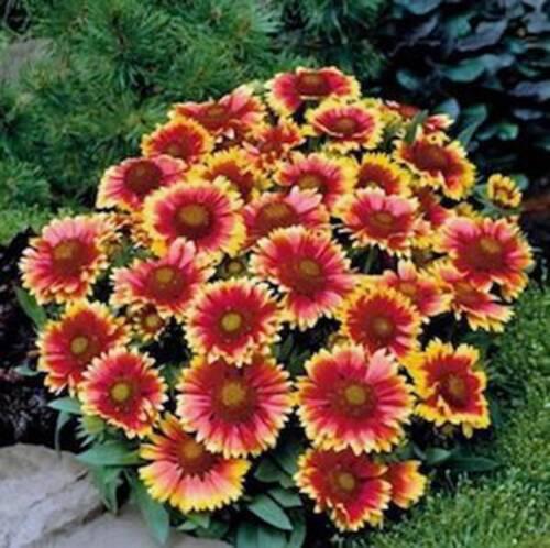 ARIZONA SUN GAILLARDIA , 100 SEEDS ORGANIC, BEAUTIFUL BRIGHT LARGE CUT FLOWER