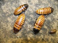 5 Adult Pairs, Miniature Madagascar Hissing Cockroaches,dubia Roach Alturnative