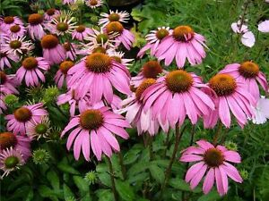 25 echinacea cone flower bright star 4 feet tall perennial image is loading 25 echinacea cone flower bright star 4 feet mightylinksfo