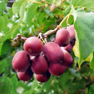Ken-039-s-Red-Kiwi-seeds-Actinidia-arguta-hardy-to-25-USA-SELLER