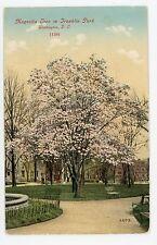 Magnolia Tree in Franklin Park RARE Antique Washington DC Bosselman Pub 1910