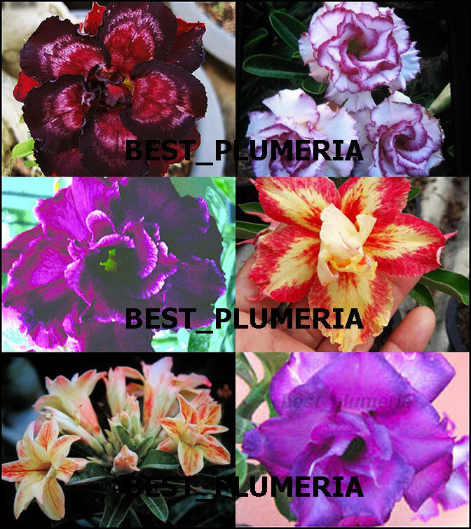 Adenium Obesum Hermoso    mixta  6 6 tipos de plantas injertadas