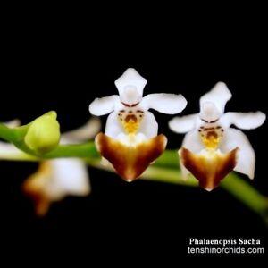 TS1020-136-Phalaenopsis-Sacha-Bare-Root-T688