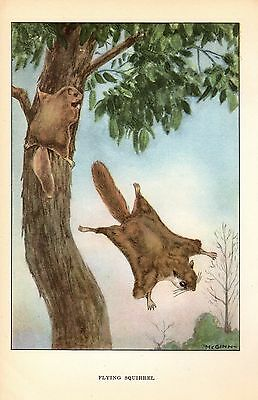 """1926 Vintage ANIMALS /""""FLYING SQUIRREL/"""" GORGEOUS COLOR Art Print Plate Lithograph"""