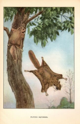 "1926 Vintage ANIMALS /""FLYING SQUIRREL/"" GORGEOUS COLOR Art Print Plate Lithograph"