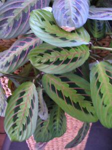Marante-Pfeilwurz-schoene-kraeftige-Jungpflanze-mit-schoener-Faerbung