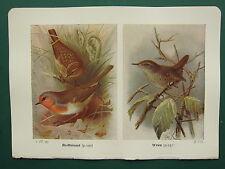VINTAGE BIRD PRINT ~ REDBREAST ROBIN ~ WREN