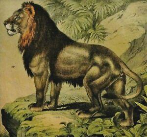 WILDE-TIERE-IN-DER-NATUR-Loewe-Tiger-Farb-Lithographie-um-1890-Mahagoni
