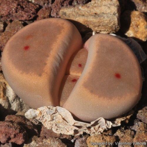 50 seeds Lithops dinteri brevis C268 living stones seeds R