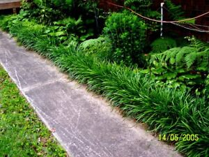 Liriope Grass Super Big Blue Lily Turf Monkey Grass Large Blade 25