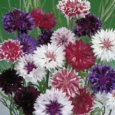 FLOWER CORN FLOWER FROSTY MIX 600 FINEST SEEDS  ANNUAL