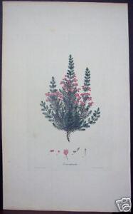 Henry-Andrews-034-Erica-Imbricata-034-1793