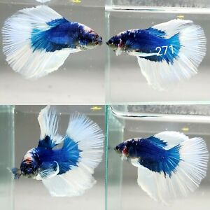 Live Betta Fish Male High-quality White Blue ButterFly HalfMoon Plakat
