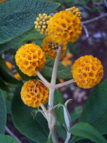 8 graines de BUDDLEIA GLOBULEUX Buddleja Globosa H230 ORANGE BALL TREE SEEDS