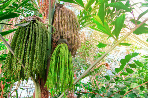 5 seeds Caryota urens Fishtail Palm Tropical Container Gardening Rare-Seed Sale!