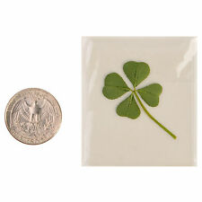 Real 4 Four Leaf Clover Irish Good Luck Charm Lucky Amulet Fortune Dry Pressed M