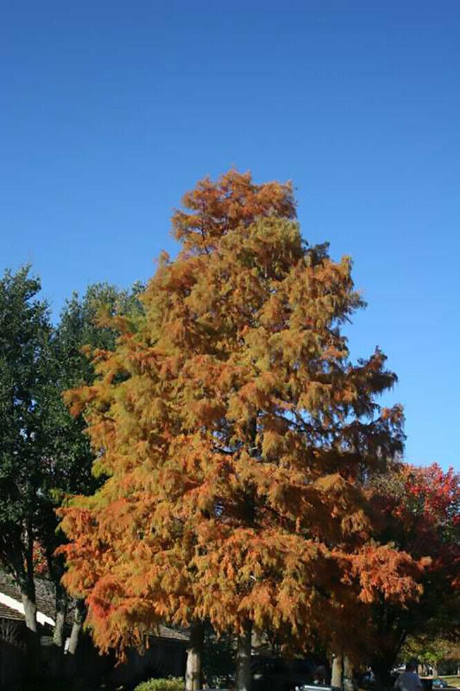 Bald Cypress, Taxodium distichum, Tree Seeds (Fast, Fall Colors, Hardy)