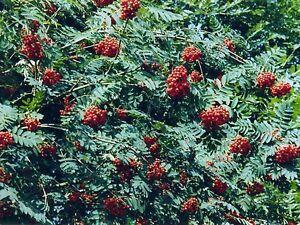 25-Vogelbeere-Eberesche-Sorbus-aucuparia-50-80-cm-wurzelnackt