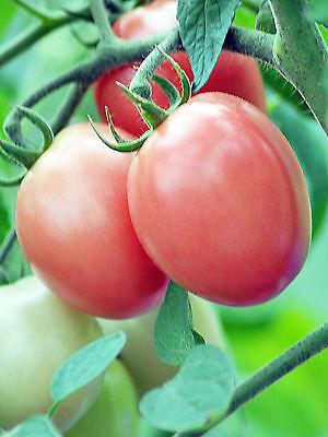 12 graines de TOMATE THAI PINK EGG - Tomato seeds - Légume potager