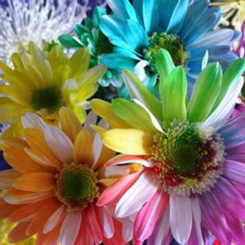 M6Y7 100Pcs Regenbogen Chrysantheme Blumen Samen Ungewöhnliche Colorful Gardena
