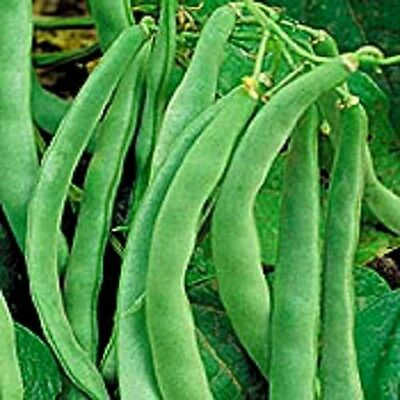 50 NAVY BEAN Michigan Pea Phaseolus Vulgaris Seeds
