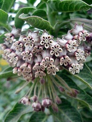 Redring Milkweed Asclepias variegata 30ct Seeds