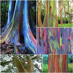 50pcs-Nett-Bunt-Regenbogen-Eukalyptus-Samen-gratis-deglupta-Mindanao-Gummi-L4Q1