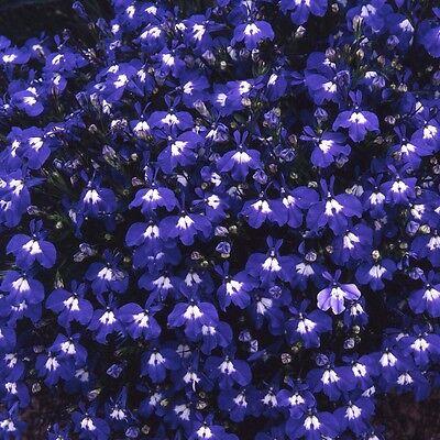 FLOWER LOBELIA TRAILING SAPPHIRE 0.4 GRAM ~ APPROX 12,000 FLOWER SEEDS
