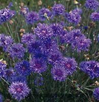 Kings Seeds - Cornflower, Double Blue -  325 Seeds