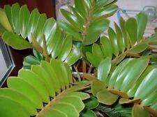 Zamia Furfuracea - 6 Seeds - Cardboard Palm Cycad