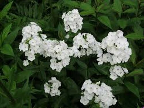 Phlox 100 Seeds White- BOGO 50/% off SALE Drummondii  Compacta