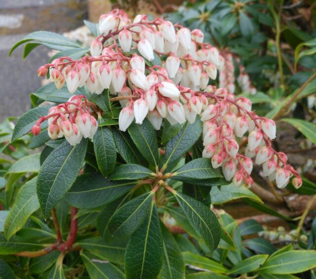 Pieris japonica (Lily-Of-The-Valley Bush) - 30 seeds