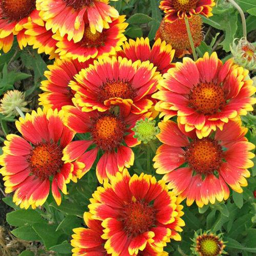 50 Graines de Gaillarde Vivace BIO seeds plantes fleurs ornementale jardin